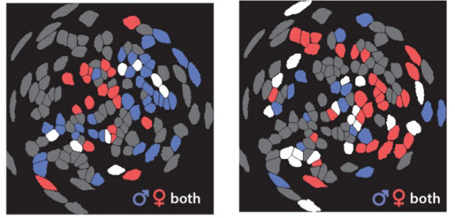 Male and female mice have different activity patterns in the brain when meeting another mouse
