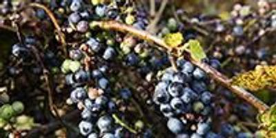 Wild Grape Yeast Could Be More Effective Than Pesticides in Preventing Grape Molds