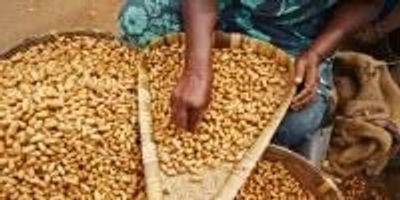 Scientists Develop Groundnut Resistant to Aflatoxin