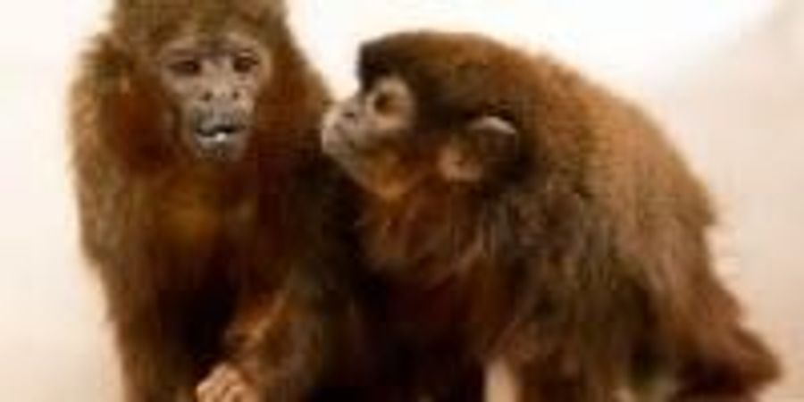 Scientists Map Monogamy, Jealousy in the Monkey Mind