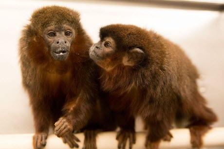 Pair-Bonded Titi Monkeys