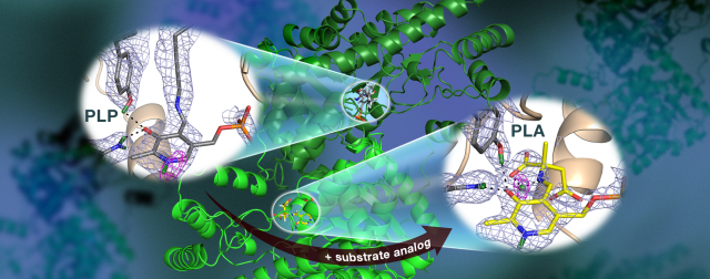 observing the AAT enzyme