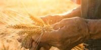 Scientists Identify Gene to Help Hybrid Wheat Breeding