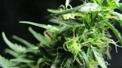 The Frostier the Flower, the More Potent the Cannabis