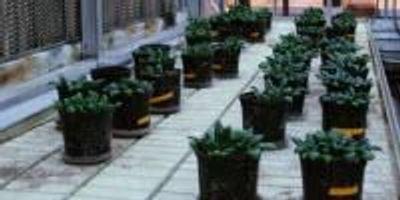 Soil Amendments for Healthier Spinach