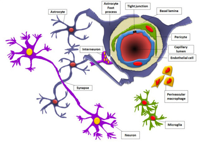 The blood brain barrier