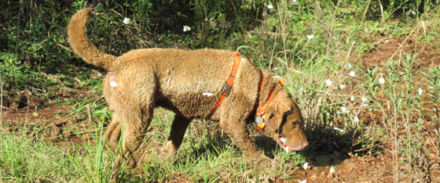 Train, a Chesapeake Bay Retriever