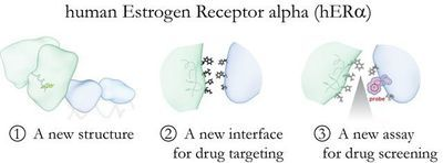 New Options for Breast Cancer Drug Development Found in Estrogen Receptors