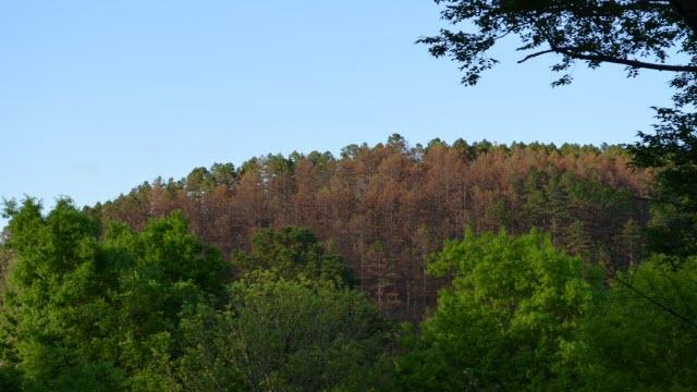 Dead pines in northeastern Oklahoma