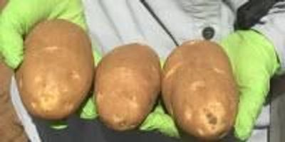 Texas Potato Researcher Plans to Pack More Value into the Crop