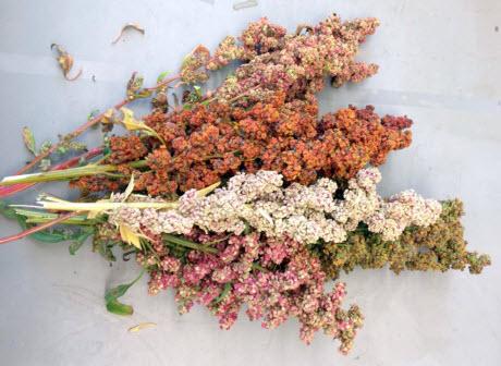 Multicolored quinoa seed heads