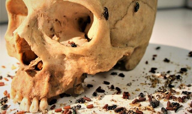 dermestid beetles and flies on a skeletonized human skul