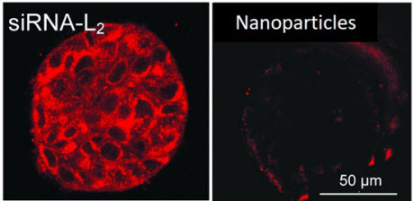 fluorescent-labeled siRNA-L2 vs. synthetic nanoparticles