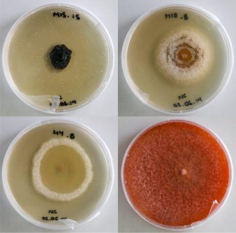 Foliar endophytic fungi