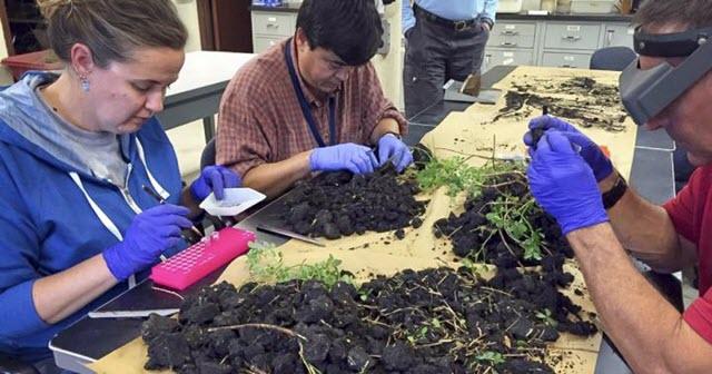 USDA ARS Staff inspecting alfalfa roots