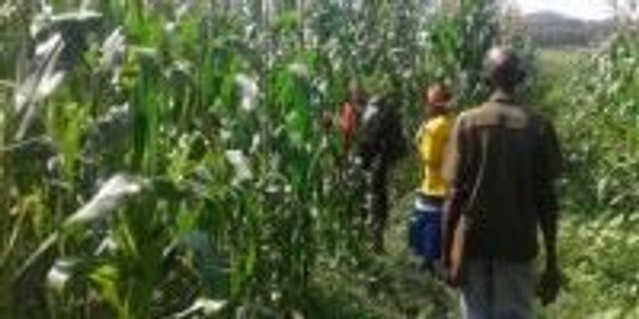Fighting a Destructive Crop Disease with Mathematics