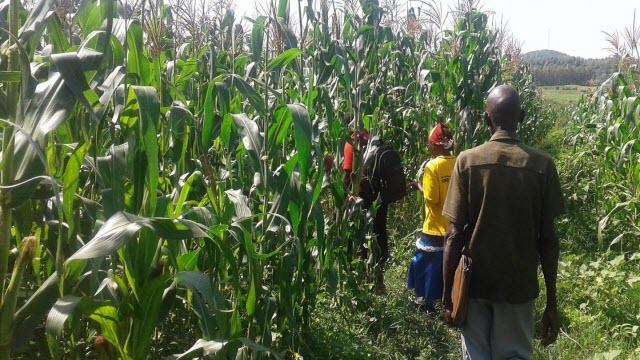maize field in Kenya