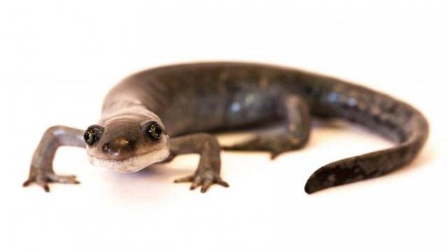 Ambystoma salamander