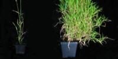 Newly Identified Gene Helps Time Spring Flowering in Vital Grass Crops