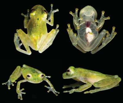 The new glassfrog species (Hyalinobatrachium yaku)