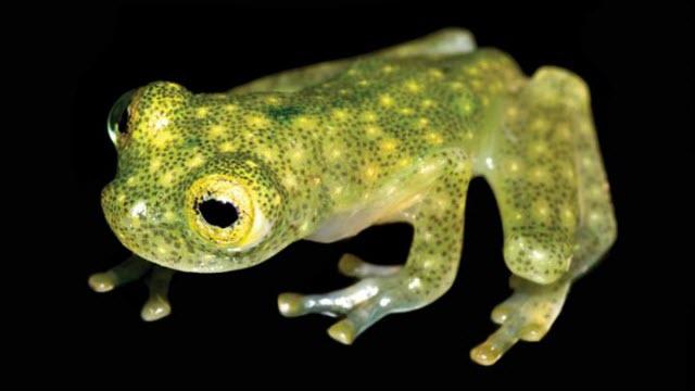 Juvenile of the new glassfrog species (Hyalinobatrachium yaku)