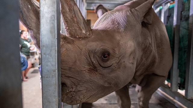 Doppsee, a rare black rhino