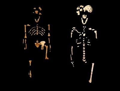 """""""Lucy"""" skeleton of Australopithecus and Neo"""" skeleton of Homo naledi"""