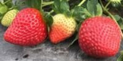 Time to Celebrate a Year-Round, Healthy Snack—the Strawberry