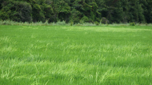 Weedy rice in field