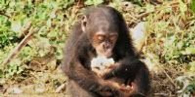 Why Are Primates Big-Brained? Anthropologists' Answer is Food for Thought