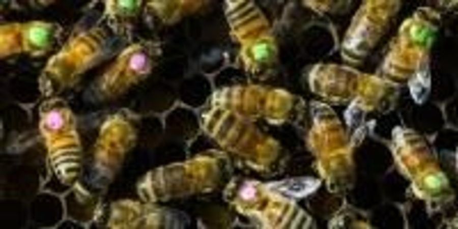 Overuse of Antibiotics Brings Risks for Bees—and for Us