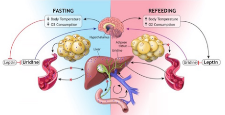 how the body's fat cell-liver-uridine axis works to maintain energy balance