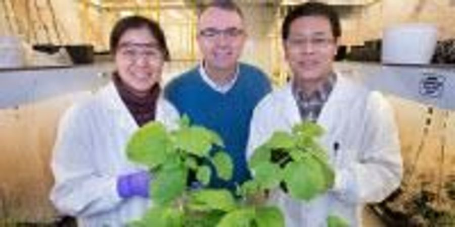 Study IDs Link Between Sugar Signaling and Regulation of Oil Production in Plants