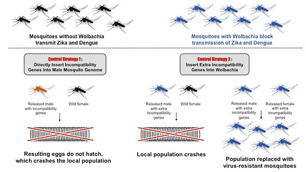 two basic strategies for using Wolbachia's incompatibility genes for combatting mosquito-borne diseases