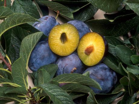 GM plums