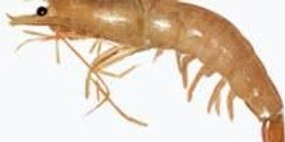 Gulf Shrimp Prices Reveal Hidden Economic Impact of Dead Zones