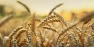 New Tools Will Drive Greater Understanding of Wheat Genes
