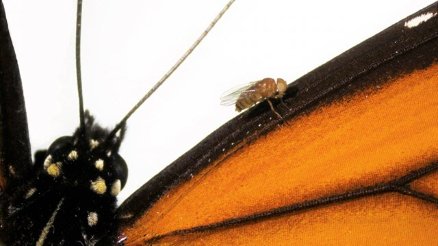 Monarch Fly on Wing of Monarch Butterfly