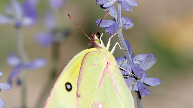 butterflies and the UV spectrum