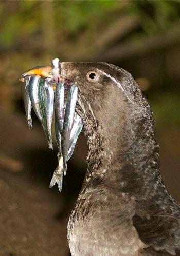 seabird eating fish