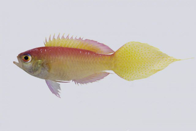 pink-and-yellow species of groppo