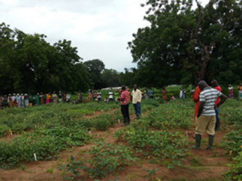 cowpea producers in Ghana