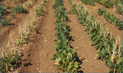field on the UC Riverside campus with three different breeding lines of cowpea