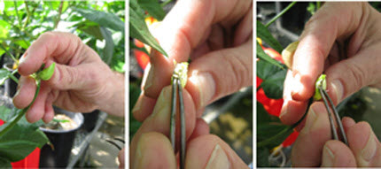 hand pollination of cowpea plants