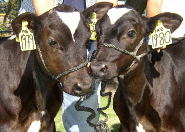 Dot and Ditto, cloned calves