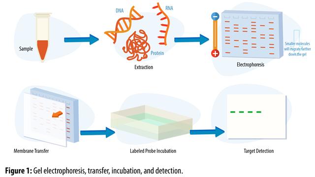 blotting-techniques-gel-electrophoresis
