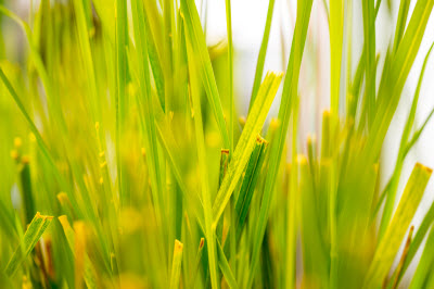 genetically modified grass species