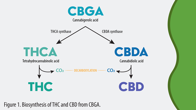 Biosynthesis-THC-and-CBD-from-CBGA