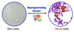 Making blood from skin cells through direct reprogramming.