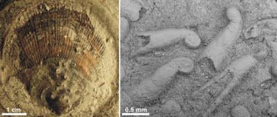 Microconchid fossils